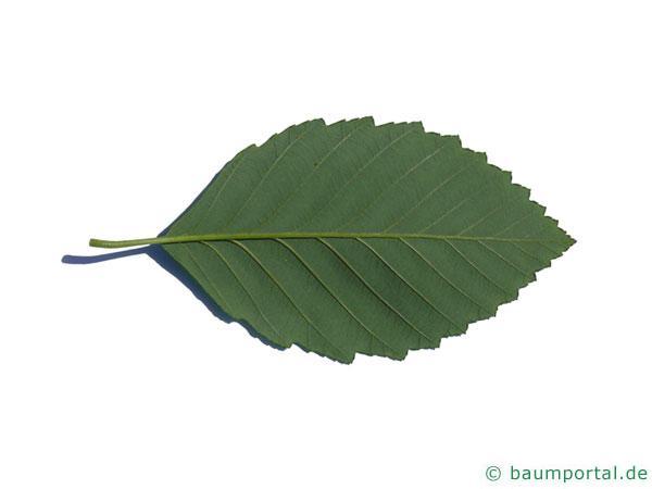 Rot-Erle (Alnus rubra) Blatt Unterseite