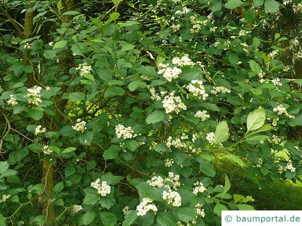 Oregon Weißdorn (Crataegus douglasii) Blätter und Blüten