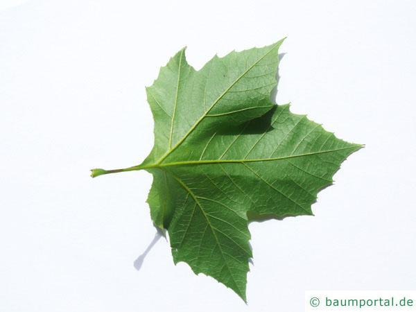 orientalische Platane (Platanus orientalis) Blattunterseite