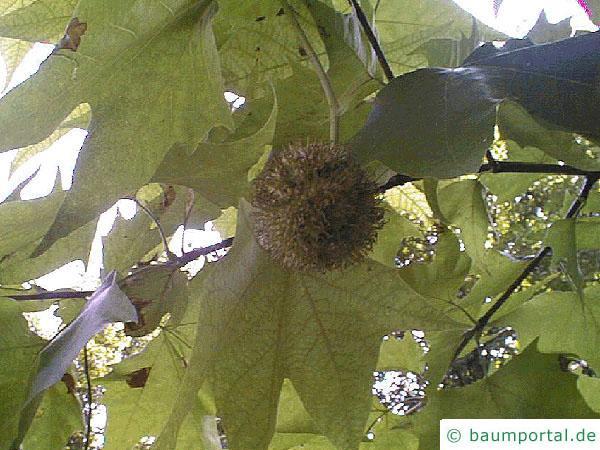 orientalische Platane (Platanus orientalis) Frucht
