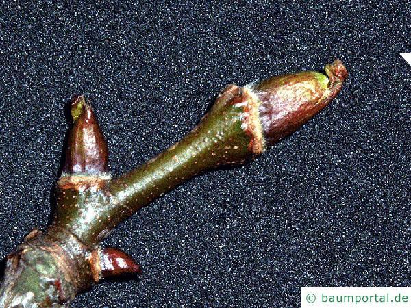 orientalische Platane (Platanus orientalis) Knospe