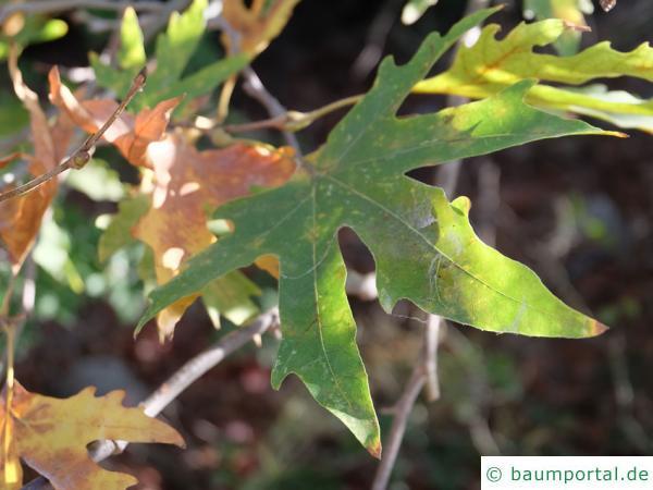 orientalische Platane (Platanus orientalis) Blatt (Zypern)