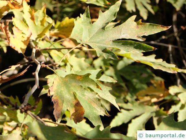 orientalische Platane (Platanus orientalis) Blätter (Zypern)