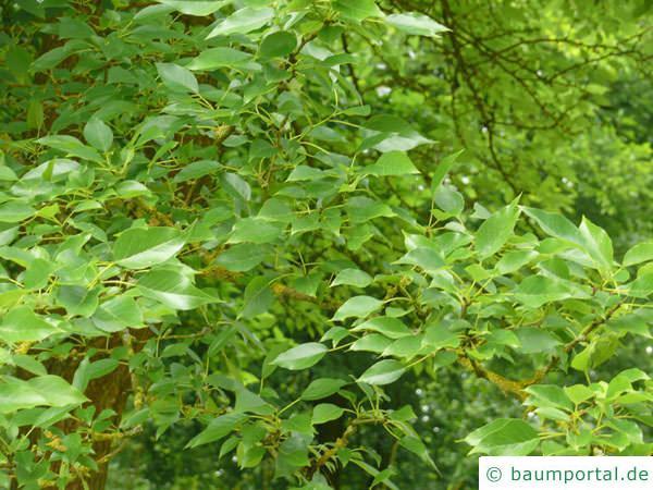 Osagedorn (Maclura pomifera) Blätter
