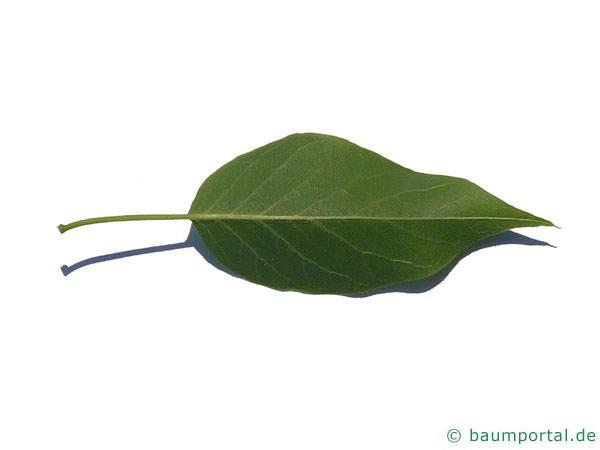 Osagedorn (Maclura pomifera) Blattunterseite