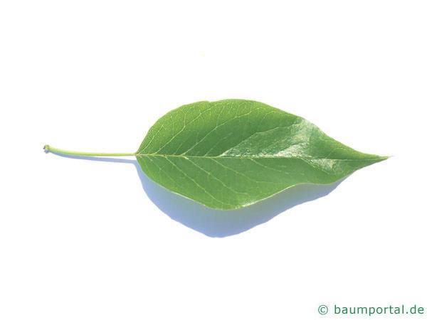 Osagedorn (Maclura pomifera) Blatt