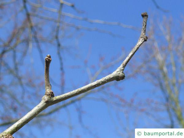Osagedorn (Maclura pomifera) Knospe