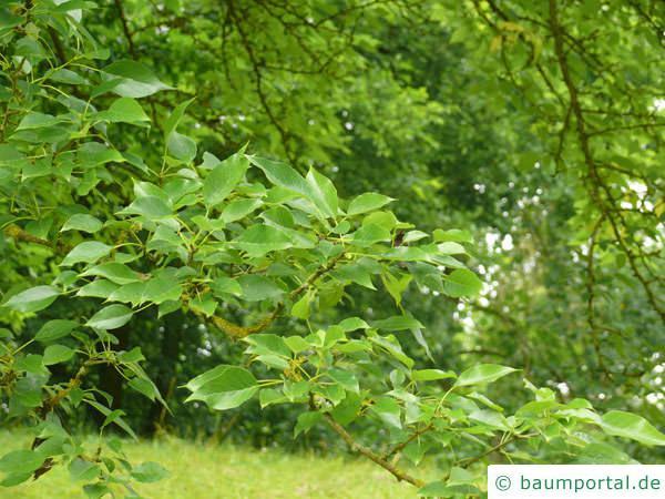Osagedorn (Maclura pomifera) Zweig