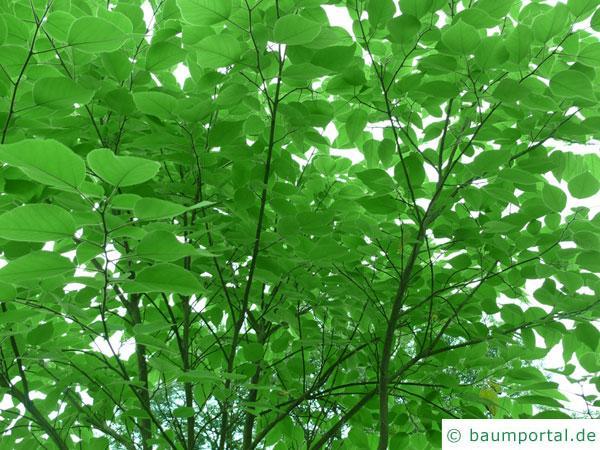 Papier-Maulbeere (Broussonetia papyrifera) Krone