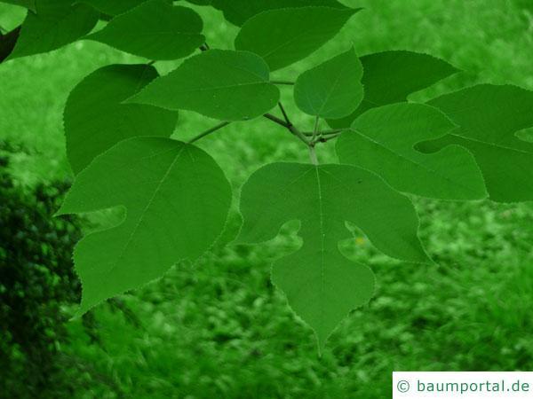 Papier-Maulbeere (Broussonetia papyrifera) unterschiedliche Blätter