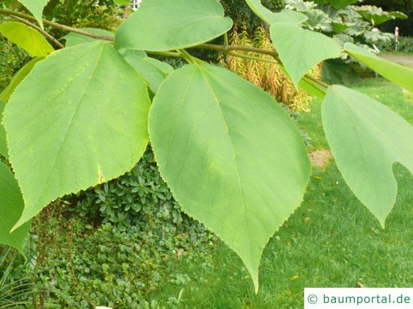 Papier-Maulbeere (Broussonetia papyrifera) eiförmige Blätter