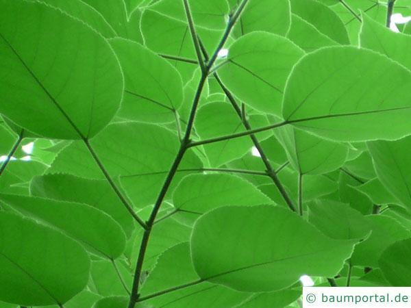 Papier-Maulbeere (Broussonetia papyrifera) Blätter