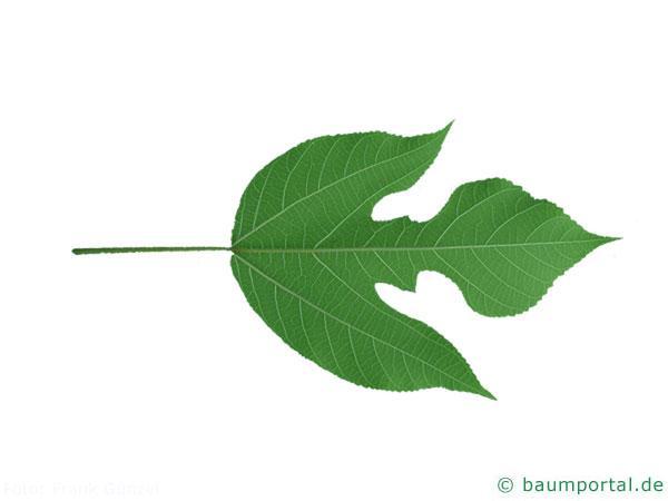 Papier-Maulbeere (Broussonetia papyrifera) Blatt