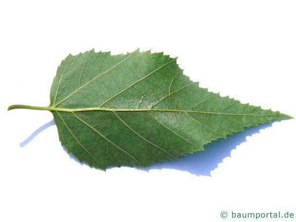 Papier-Birke (Betula papyrifera) Blatt Rückseite