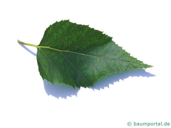Papier-Birke (Betula papyrifera) Blatt