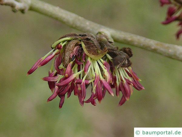 persisches Eisenholz (Parrotia persica) Blüte
