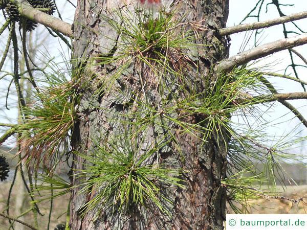 Pech-Kiefer (Pinus rigida) Stamm mit Kurztrieben