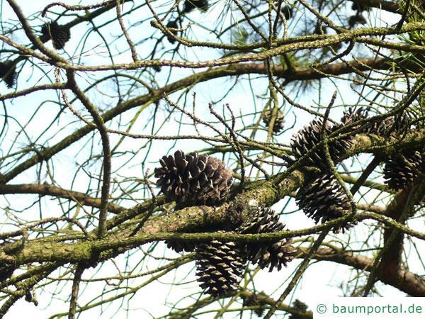 Pech-Kiefer (Pinus rigida) Gruppe von Zapfen