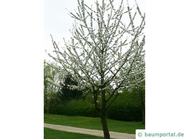 Pflaume (Prunus domestica) Baum in der Blüte