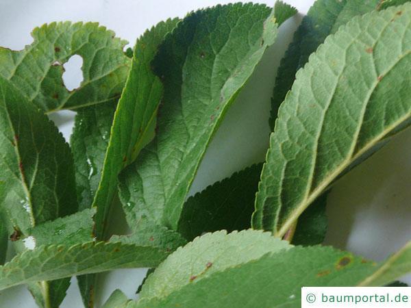 Pflaume (Prunus domestica) Blätter