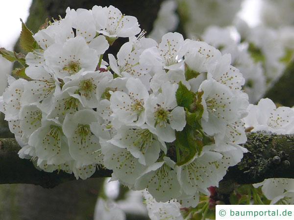 Pflaume (Prunus domestica) Blüte