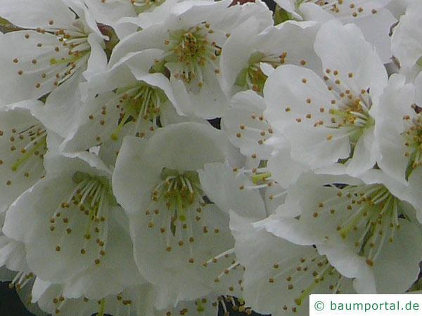 Pflaume (Prunus domestica) Blüte Nahaufnahme