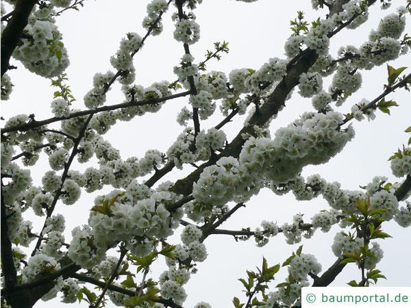 Pflaume (Prunus domestica) Zweige mit Blüten