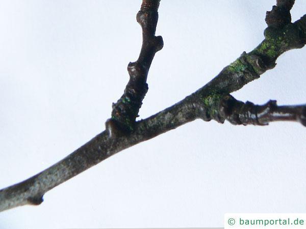 Pflaume (Prunus domestica) Zweig im Winter