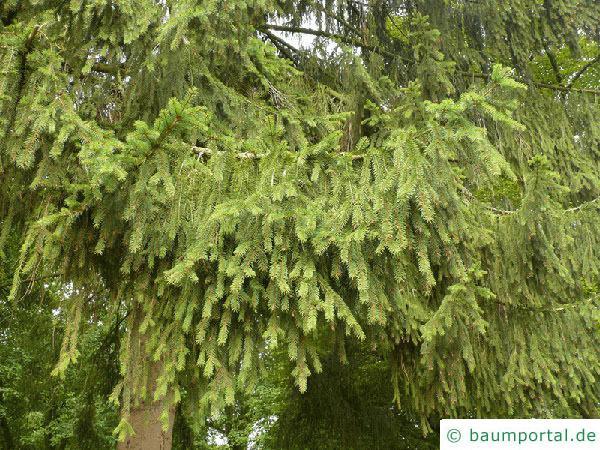 Picea Omorika / serbische Fichte (Picea omorika) Zweige