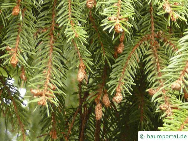 Picea Omorika / serbische Fichte (Picea omorika) Zweigspitzen