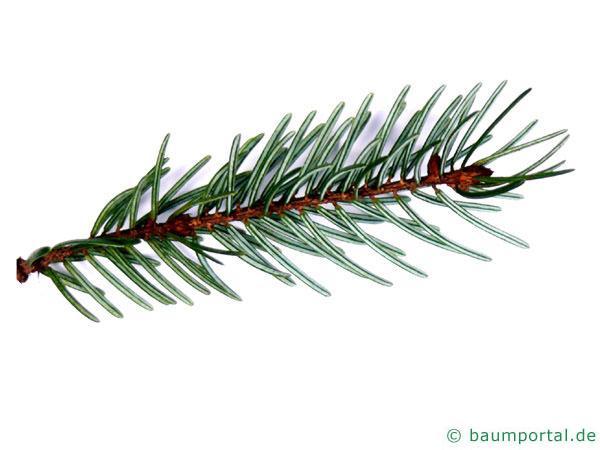 Picea Omorika / serbische Fichte (Picea omorika) Nadeln