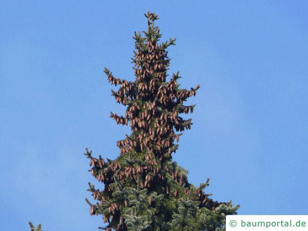 Picea Omorika / serbische Fichte (Picea omorika) Baumspitze