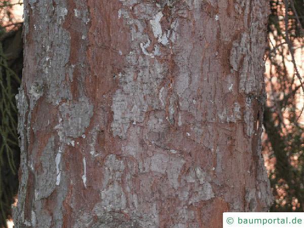 Picea Omorika / serbische Fichte (Picea omorika) Stamm