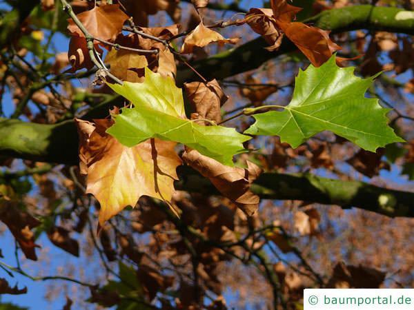 Platane (Platanus acerifolia) Blätter-herbst