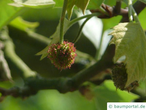 Platane (Platanus acerifolia) Blüte