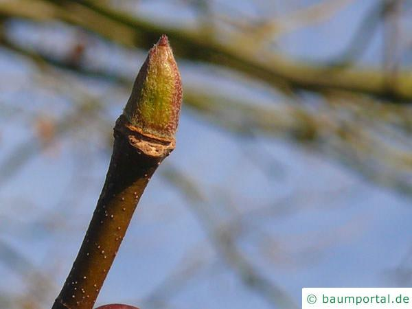 Platane (Platanus acerifolia) Endknospe