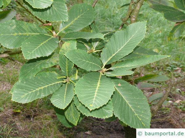 Pontische Eiche (Quercus pontica) Blätter