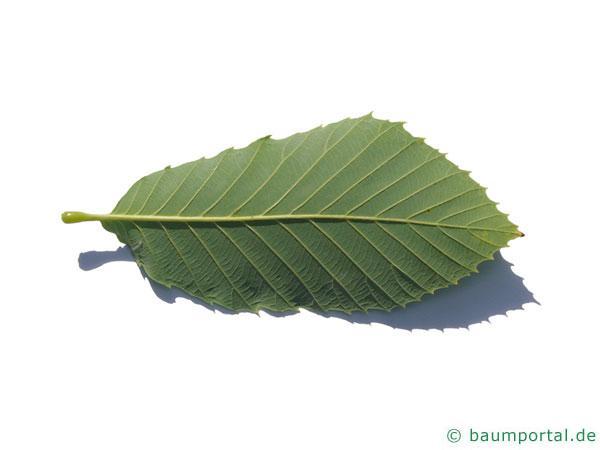Pontische Eiche (Quercus pontica) Blattunterseite
