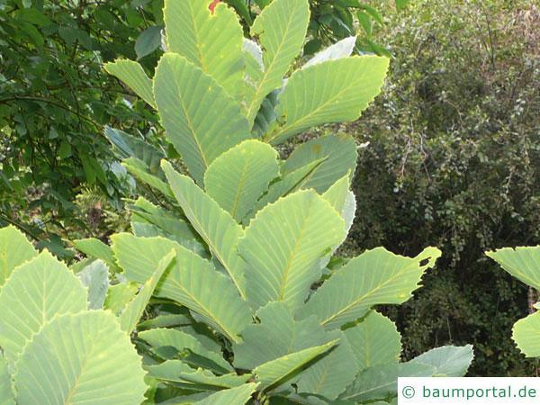 Pontische Eiche (Quercus pontica) Wuchs