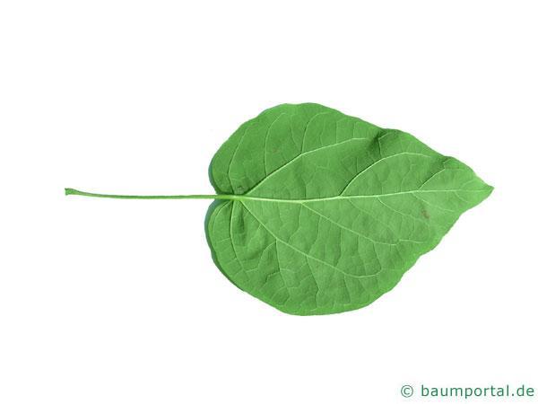 prächtiger Trompetenbaum (Catalpa speciosa) Blatt Uneterseite
