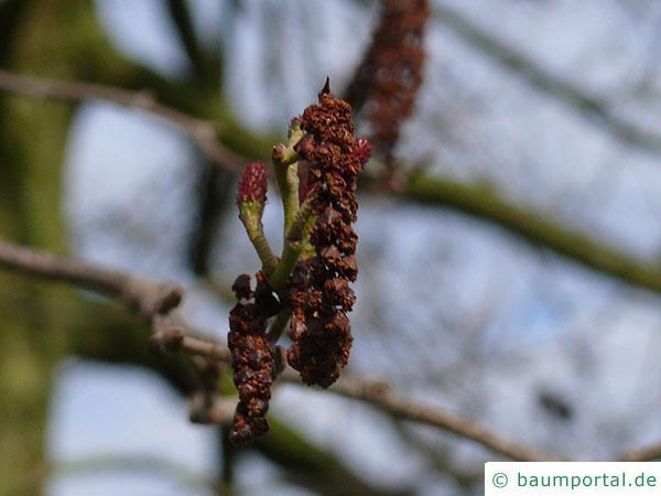 Purpur-Erle (Alnus spaethii) Männliche und weibliche (stehend) Blüten