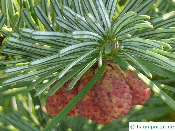Purpur-Tanne (Abies amabilis) männliche Fruchtstände