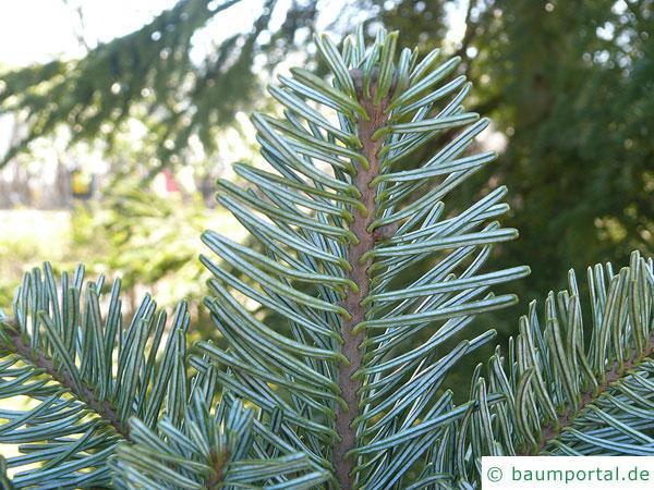 Purpur-Tanne (Abies amabilis) Nadeln