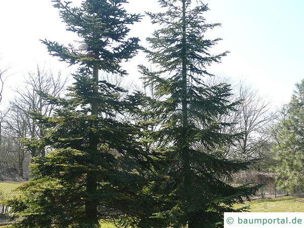 Purpur-Tanne (Abies amabilis) Baum