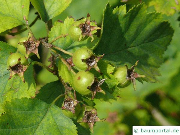 Quebec Weißdorn (Crataegus submollis) Frucht im Sommer
