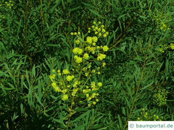 Quorn Akazie (Acaia quornensis) Blüten
