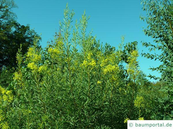 Quorn Akazie (Acaia quornensis) Blütenkrone