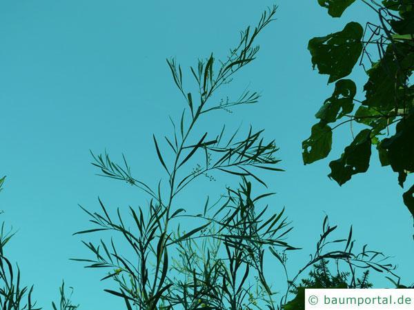 Quorn Akazie (Acaia quornensis) Wuchs