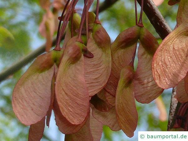 Rot-Ahorn (Acer rubrum) Frucht