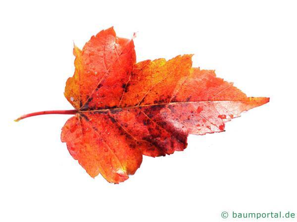 Rot-Ahorn (Acer rubrum) Blatt mit rötlicher Herbstfärbung